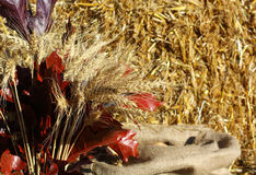 Bouquet of ears corn golden wheat. Wheat field. Ears of golden wheat close up. Rural Scenery under Shining Sunlight. Background of ripening ears of autumn dry Stock Photos