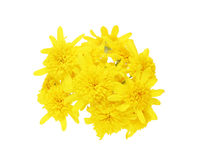 Bouquet of Euryops daisy in a white background Stock Images