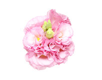 Bouquet of eustoma Stock Photography
