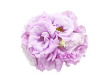 Bouquet of eustoma Royalty Free Stock Photography
