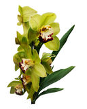 Bouquet Exotic Green Orchids. Bouquet of exotic green orchids isolated on white background stock image