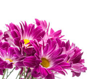 Bouquet of few pink chrysanthemum Stock Photos