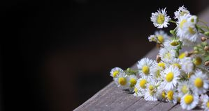 Bouquet of field chamomiles on old wooden table against black background with beams of light and floating dust Royalty Free Stock Image