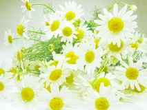 Bouquet of field daisy flowers Royalty Free Stock Photography