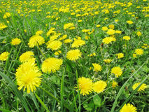 Bouquet of field dandelion flowers Royalty Free Stock Photos