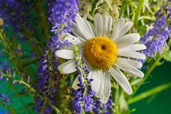 A bouquet of field flowers white Daisy in the centre of the comp. Bouquet of wild flowers white chamomile in the center of the composition next to the purple stock photo