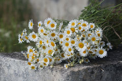 Bouquet of field pharmacy chamomile Stock Photography