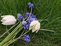 Bouquet of the first spring flowers blue and white royalty free stock photos