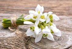 Bouquet of the first spring flowers - snowdrops Stock Photography