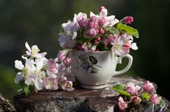 Bouquet of flower  blossoming apple tree Royalty Free Stock Image