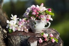 Bouquet of flower  blossoming apple tree Stock Photography