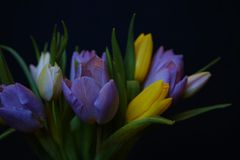 Tulips flowers bouquet close-up black background spring multicolors. Bouquet flower tulip close-up black background spring multicolors green leaf day Stock Images