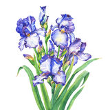 The bouquet flowering blue and violet Iris with bud. Watercolor hand drawn painting illustration, isolated on white background Stock Image