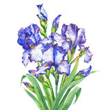 The bouquet flowering blue and violet Iris with bud. Watercolor hand drawn painting illustration, isolated on white background Royalty Free Stock Photography