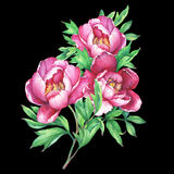 The bouquet flowering pink peonies, isolated on black background. Royalty Free Stock Image