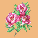 The bouquet flowering pink peonies, isolated on orange background. Royalty Free Stock Images