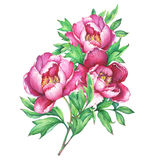 The bouquet flowering pink peonies,  on white background. Stock Photography