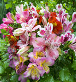 Bouquet of flowers. Alstroemeria. Bouquet of flowers Alstroemeri Stock Photography