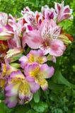 Bouquet of flowers. Alstroemeria. Bouquet of flowers Alstroemeri Royalty Free Stock Photography