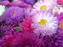 Bouquet of flowers Asters - close-up stock photos