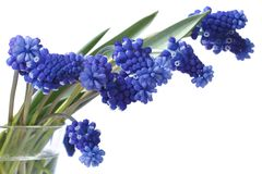 Bouquet flowers of blue muscari in a glass vase isolated Stock Photography