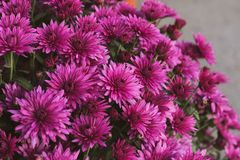 A bouquet of flowers close-up. Asters burgundy color. Beautiful bouquet of flowers in the box. A bouquet of flowers close-up. Asters burgundy color royalty free stock photos