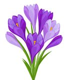 Bouquet of flowers crocus on white background.  Royalty Free Stock Photo
