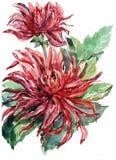 Bouquet flowers , dahlia, watercolor, illustration Stock Image