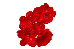 A bouquet of flowers of geraniums in the sparkling drops of water. A bouquet of red flowers of geranium in the sparkling drops of water Stock Images