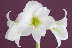 Bouquet of flowers hippeastrum. Horizontal shot Stock Photos