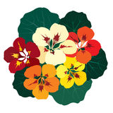 Bouquet of flowers nasturtium Stock Image
