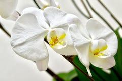 Two orchids white decoration flowers bouquet. Bouquet flowers orchids arrangement romantic gift royalty free stock image