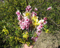 Bouquet of flowers peach, golden currant, and daffodils. Spring bouquet of flowers Royalty Free Stock Photography
