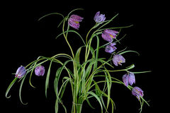 A bouquet of flowers of the Snake`s Head Fritillary plant  Frit Stock Image