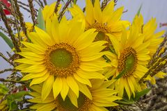 Bouquet of flowers of sunflowers, corn and other agricultural crops stock photography