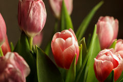 Bouquet flowers tulips. Bouquet of pink tulips on a dark background Royalty Free Stock Images