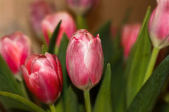 Bouquet flowers tulips. Bouquet of pink tulips on a dark background Stock Photos