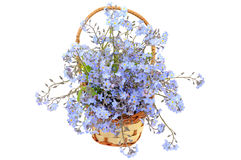 Bouquet of forget-me-not flowers. In the wicker basket on a white background Royalty Free Stock Image