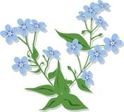 Bouquet from forget-me-nots. A vector illustration. It is isolated on a white background Stock Photo