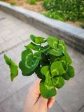 Bouquet of four leafed clover. Many lucky clover leaves in the hand of the lady in summer in the park at the daytime stock photo