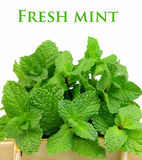 Bouquet of fragrant mint Royalty Free Stock Images