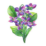 Bouquet of Fragrant violets wild flower English Sweet Violets, Viola odorata Stock Photo