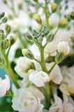 Bouquet of fragrant white stock flowers (matthiola) Royalty Free Stock Image
