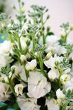 Bouquet of fragrant white stock flowers (matthiola) Royalty Free Stock Photography