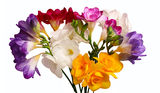 Bouquet of freesia. Colorful bouquet of freesia isolated on a white background Royalty Free Stock Images