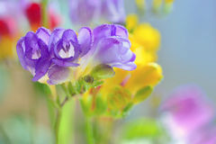 Bouquet of freesias flowers Stock Photography