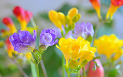 Bouquet of freesias flowers Royalty Free Stock Photos