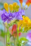 Bouquet of freesias flowers Stock Photos