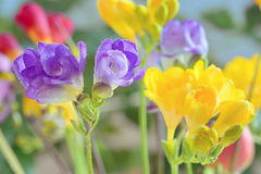 Bouquet of freesias flowers Royalty Free Stock Photo