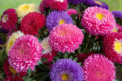 Bouquet of fresh asters Royalty Free Stock Photography